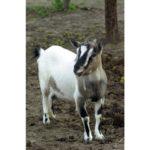 capra fattoria in agriturismo alle valli in provincia di padova animali