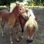 cavalli della fattoria in agriturismo alle valli in provincia di padova